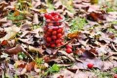 山楂属laevigata、内地或者英国山楂树或者mayflower成熟莓果秋天 免版税库存图片