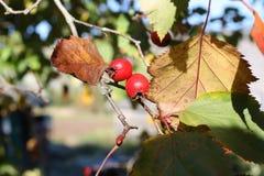 山楂属laevigata、内地或者英国山楂树或者mayflower成熟莓果秋天 库存图片