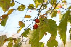 山楂属laevigata、内地或者英国山楂树或者mayflower成熟莓果秋天 图库摄影