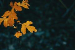 山楂属monogyna橙色叶子的特写镜头  库存图片