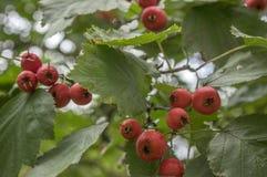 山楂属pinnatifida,中国山楂树hawberry与红色成熟了果子 免版税库存照片