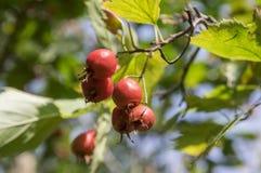 山楂属pinnatifida,中国山楂,中国山楂树,中国hawberry用果子 免版税库存照片
