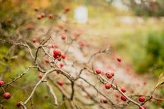 山楂树在秋天庭院里 免版税库存照片