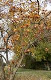 山楂树布什用在分支的成熟莓果 图库摄影