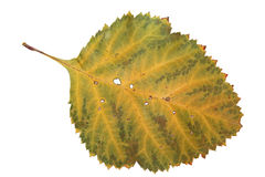 山楂树干秋天叶子种植在白色的被隔绝的元素 免版税库存图片
