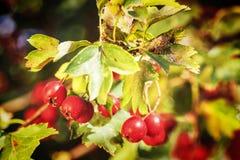 山楂树成熟红色果子  免版税库存图片