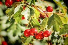 山楂树成熟红色果子  库存照片