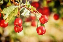 山楂树成熟红色果子  图库摄影