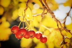 山楂树成熟红色果子  免版税库存照片