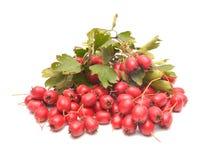 山楂树成熟红色果子  免版税图库摄影