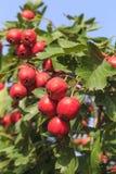 山楂树果子成熟在树 免版税库存照片