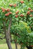 山楂树果子 库存图片