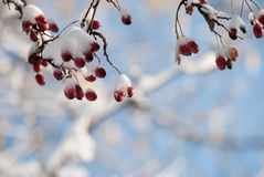 山楂树树在冬天 免版税库存照片