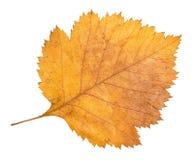 山楂树树干下落的黄色秋天叶子  免版税库存图片