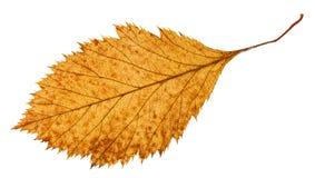山楂树树腐烂的干叶子的后部  免版税库存图片