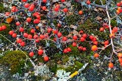 山楂树棘手的分支与红色莓果特写镜头的 免版税库存图片