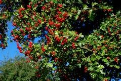 山楂树用红色莓果 免版税库存图片