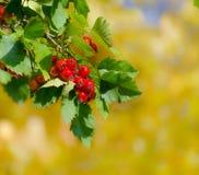 山楂树红色莓果在黄色秋天背景的 库存图片