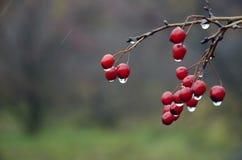 山楂树红色莓果背景与雨的下降 免版税库存图片