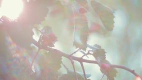山楂树莓果和叶子 影视素材