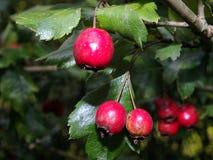 山楂树莓果和叶子 库存图片