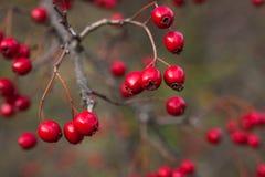 山楂树莓果在晚秋天 库存照片