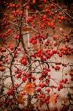 山楂树莓果本质上 库存图片