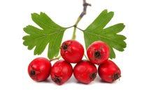 山楂树莓果的枝杈 免版税库存图片