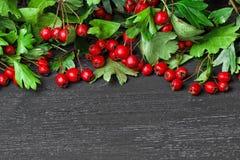 山楂树莓果 免版税库存图片