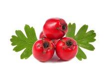 山楂树莓果 库存图片