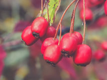 山楂树莓果 库存照片