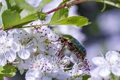 山楂树(山楂属oxyacantha或山楂属laevigata)与花和甲虫(Protaetia aeruginosa) 免版税库存照片