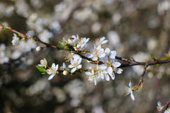 山楂树 免版税库存图片