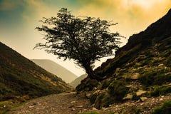 山楂树 库存图片