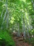山毛举材森林 免版税库存照片
