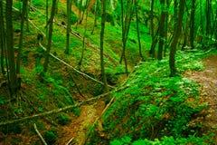 山毛举材森林 库存照片