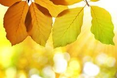 山毛榉五颜六色的秋叶  免版税库存照片