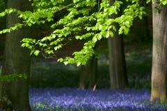 山毛榉会开蓝色钟形花的草结构树 免版税库存图片