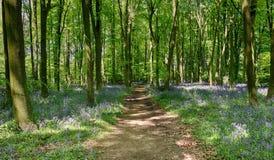 山毛榉会开蓝色钟形花的草英国春天&# 库存图片