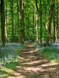 山毛榉会开蓝色钟形花的草英国春天&# 图库摄影