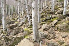 山毛榉冬天 库存照片