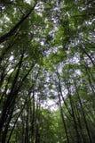 山毛榉分支在绿色木头的 免版税库存图片