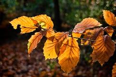 山毛榉叶子在冬天 库存图片