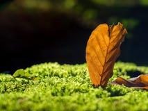 山毛榉叶子在秋天 库存图片
