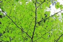 山毛榉叶子背景在森林里 免版税库存图片