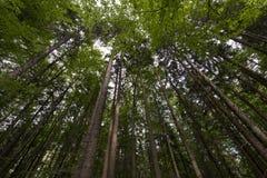 山毛榉和杉木从底视图 库存照片
