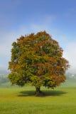 山毛榉唯一结构树 库存照片