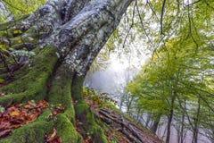 山毛榉在秋天, Monte Cucco NP,翁布里亚,意大利根  免版税图库摄影