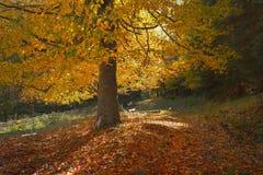 山毛榉在秋天 图库摄影
