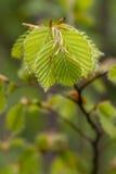 山毛榉新鲜的叶子 免版税图库摄影